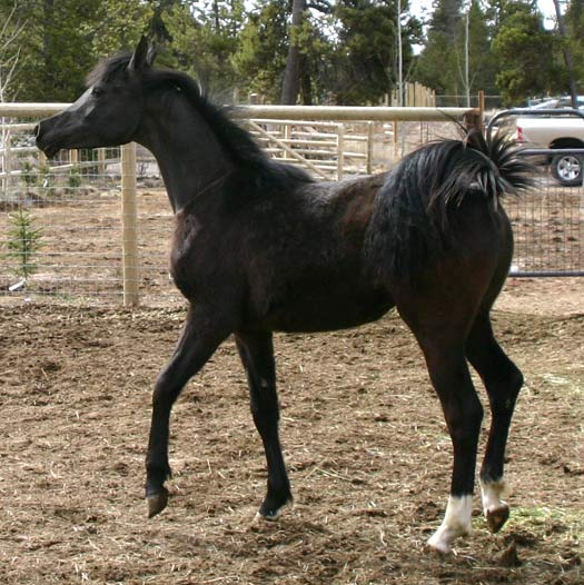 Black Colt by Trevallon