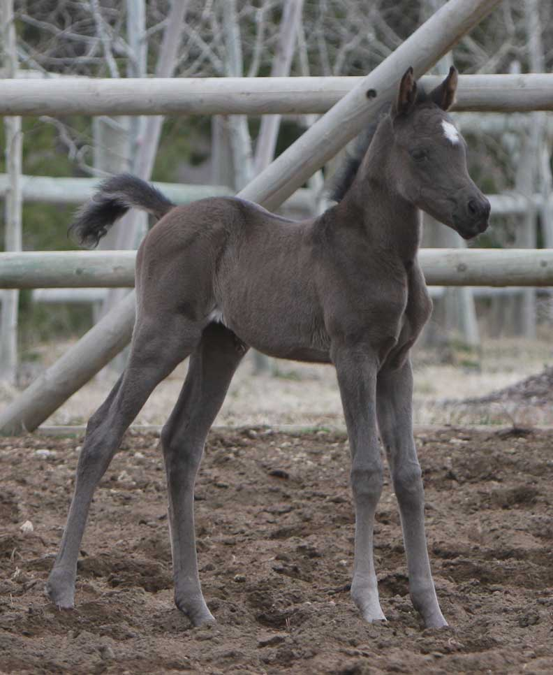 Black Arabian Filly by Triton BP