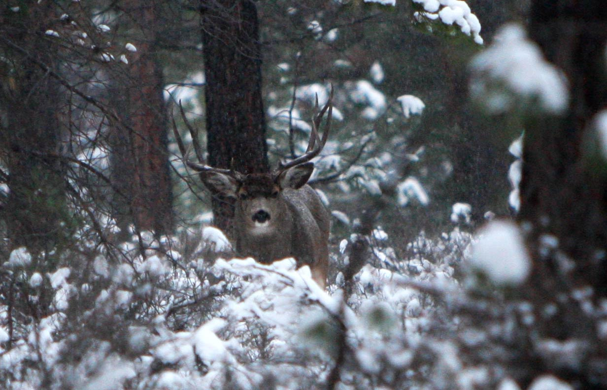 big mule deer buck near La Pine