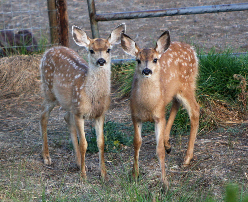 Twin mule deer fawns