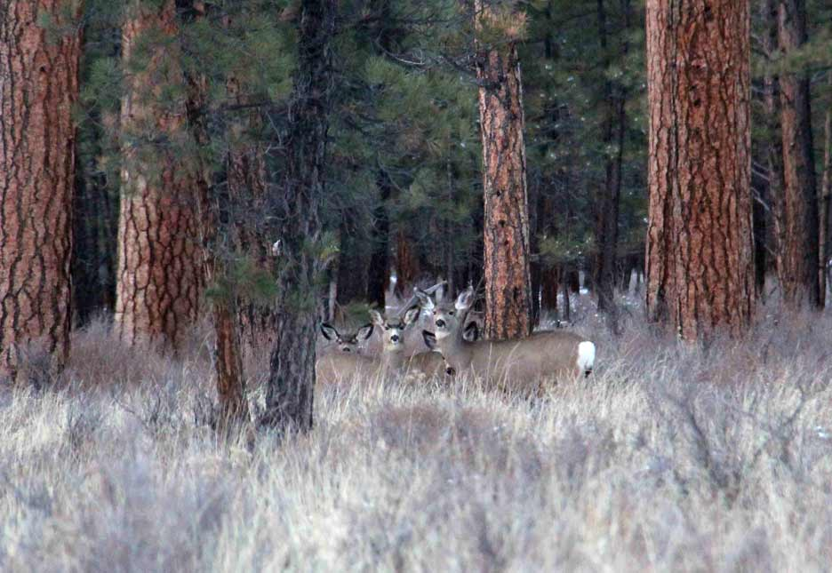 Mule deer amoung the Ponderosa pines of central Oregon