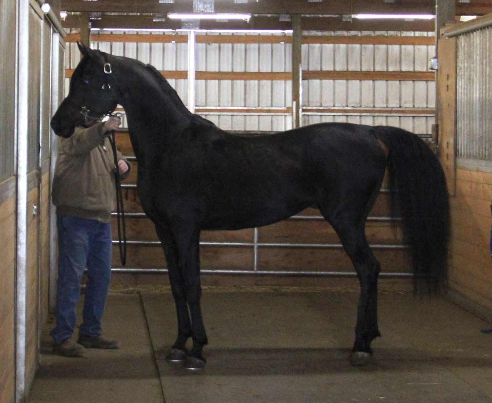 Ferric BP homozygous solid black Arabian stallion