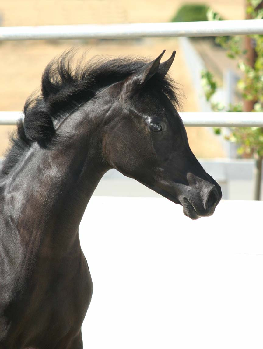 Black Arabian Filly from Birch Park Black Arabians