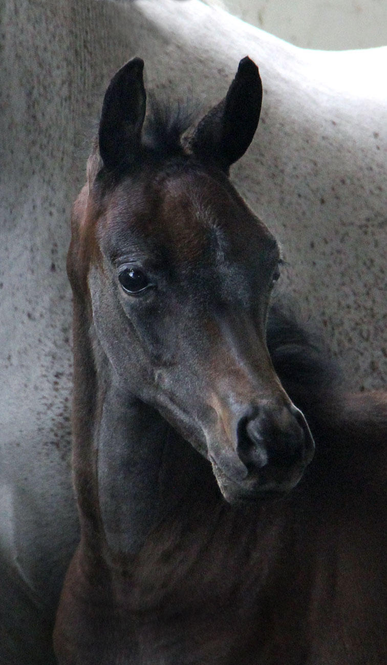 Grey colt by Ferric BP