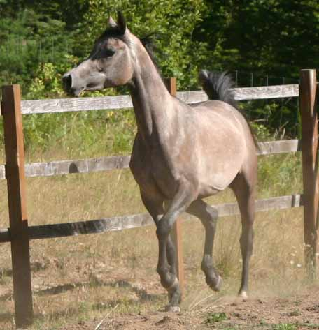 Gray mare by pfc Trevallon