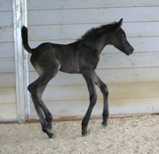 Black Arabain Filly by pfc Trevallon