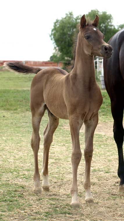 Black Arabian colt by Triton BP