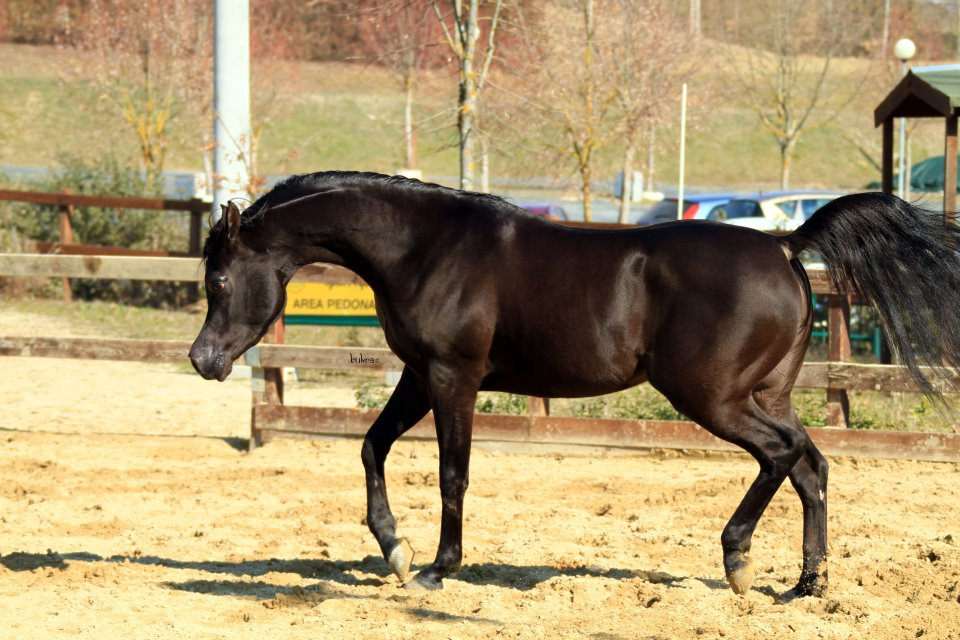 Black egyptian arabian stallion