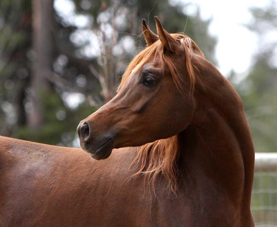 Chestnut arabian horses - photo#7