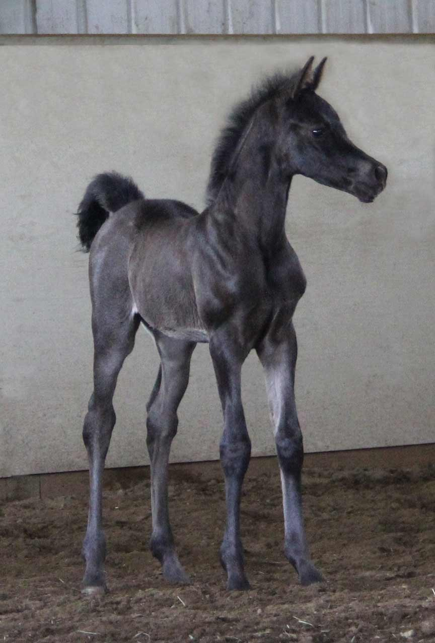 Black filly by Montenegro BP