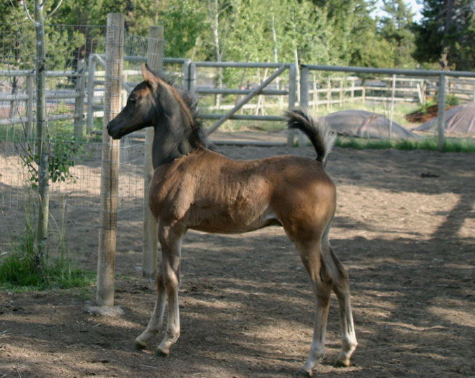 Black Arabian colt by pfc Trevallon