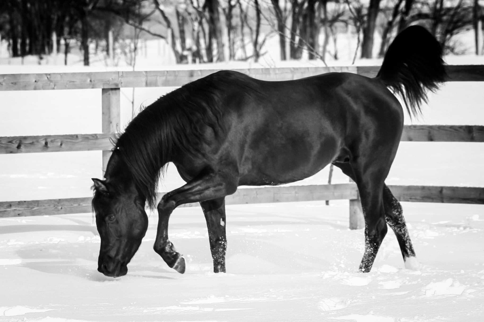 Black Arabian Stallion by pfc Trevallon
