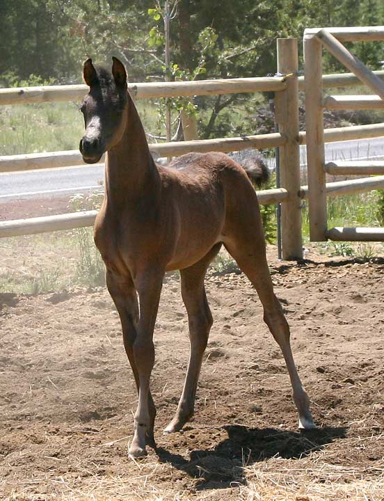 Black Arabian colt by Trevallon
