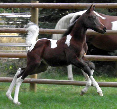 A pinto filly by Triton BP
