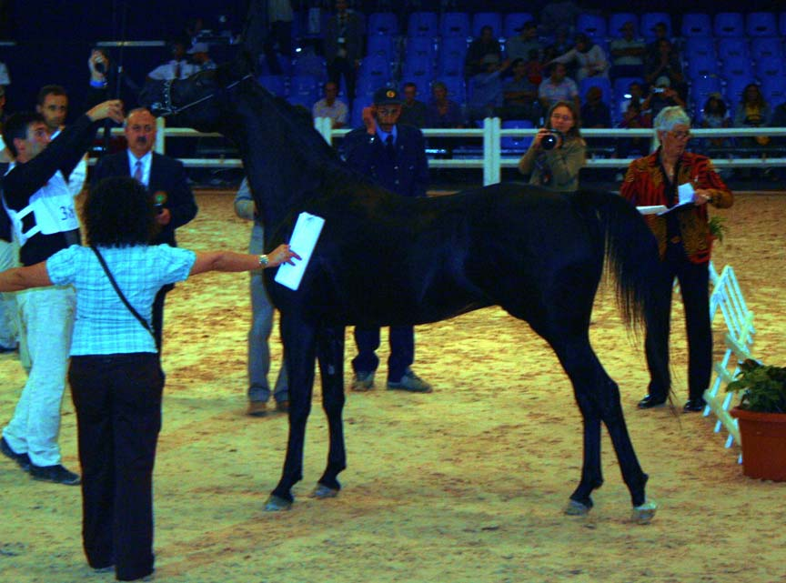 Black Arabian stallion Tristin BP