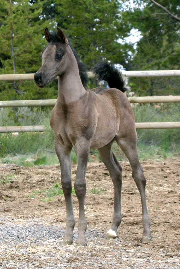 Black colt by pfc Trevallon