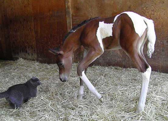 Pinto filly by Triton BP