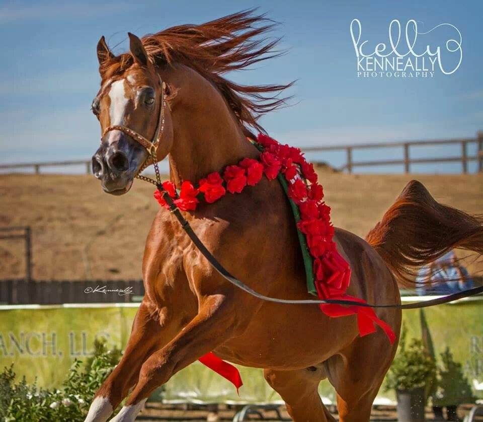 Arabian stallion Enzo
