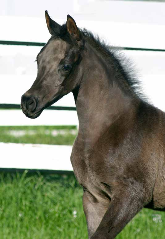 black Arabian Filly by pfc Trevallon
